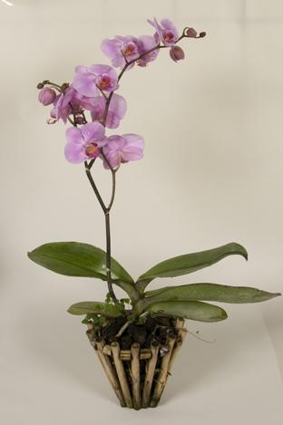 выращивание орхидей в домашних условиях фаленопсис